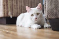 Biały kota portret Zdjęcie Stock