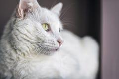Biały kota portret Fotografia Stock