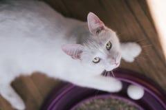 Biały kota portret Zdjęcia Stock