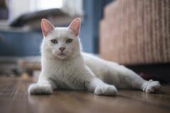 Biały kota portret Obrazy Stock