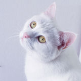 Biały kota sen na stole Fotografia Stock
