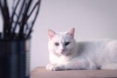 Biały kota sen na stole Zdjęcia Royalty Free