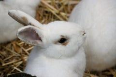 biały królik Obrazy Stock
