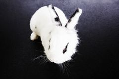 Biały królik na czarnym tle Zdjęcia Stock