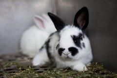 Biały królik z czarnymi czerni plamami i ucho Zdjęcie Royalty Free