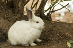 Biały królik z czerwonymi oczami obrazy stock