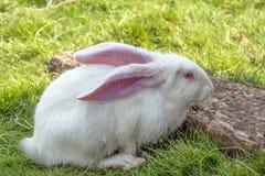 Biały królik z menchia ucho i oczami Zdjęcie Royalty Free