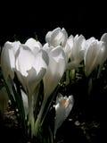 Biały Krokus Fotografia Royalty Free