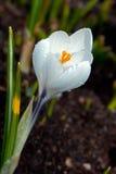Biały krokusa kwiecenie (krokus sativus) Zdjęcia Royalty Free