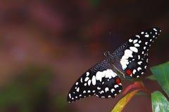 Biały kropka motyl Fotografia Stock