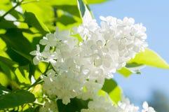 Biały kwiat Fotografia Royalty Free