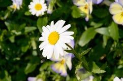 Biały kwiat Obrazy Royalty Free