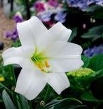 Biały kwiat Zdjęcie Royalty Free