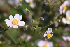 Biały kwiat Obraz Royalty Free