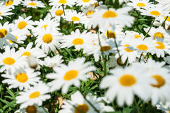Biały kwiat Fotografia Stock