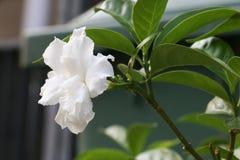 Biały kwiat 310 Fotografia Stock