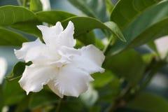Biały kwiat 307 Zdjęcia Royalty Free