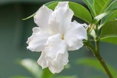 Biały kwiat 305 Fotografia Stock