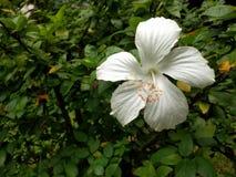 BIAŁY kwiat 05 Zdjęcia Stock