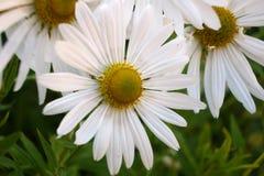 Biały kwiat 7 Obrazy Royalty Free