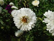 Biały kwiat Obrazy Stock