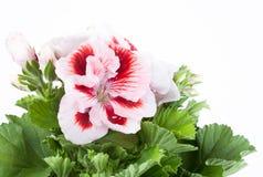 Biały kwiat dwa kolorów bodziszek Zdjęcie Royalty Free