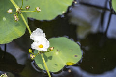 Biały kwiat jest r w stawie Obrazy Royalty Free