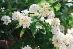 BIAŁY kwiat, LANTANA Zdjęcia Royalty Free