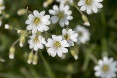 Biały kwiat na zielonym tle Fotografia Stock