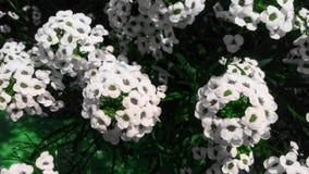 Biały kwiat w bight letnim dniu Obrazy Royalty Free