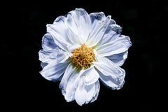 Biały kwiat w czarnym tle Zdjęcie Stock