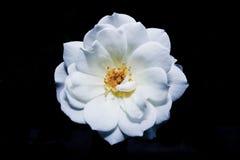 Biały kwiat w czarnym tle Zdjęcie Royalty Free