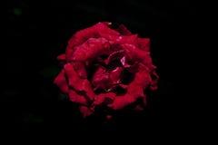 Biały kwiat w czarnym tle Fotografia Stock
