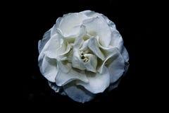 Biały kwiat w czarnym tle Zdjęcia Royalty Free