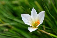Biały kwiat w trawie fotografia royalty free