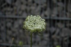 Bia?y kwitnie kwiat obrazy stock