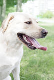 Biały Labrador Fotografia Royalty Free