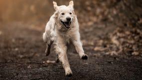 Biały Labrador Obraz Stock
