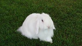 Biały Lang Uszaty Holenderski królik Obraz Stock