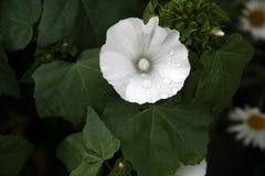 Biały lavatera kwiat Obrazy Stock