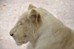 Biały lew Obraz Royalty Free