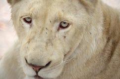 Biały lew Zdjęcia Stock