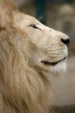 Biały lew Obrazy Stock