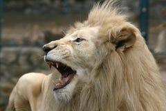 Biały lew Fotografia Stock