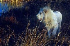 Biały lew (Panthera Leo) Obrazy Stock