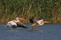 biały lotów pelikany Zdjęcia Royalty Free