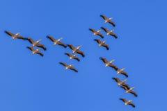 biały lotów pelikany Zdjęcia Stock