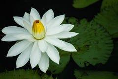 Biały Lotos Fotografia Royalty Free