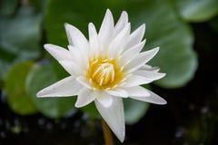 Biały lotos lub wodna leluja Obraz Stock