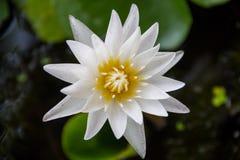 Biały lotos lub wodna leluja Zdjęcia Stock